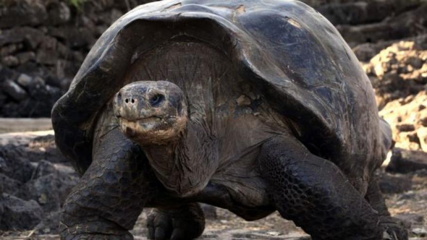 Video Cizí strava sloním želvám na rozdíl od okolí prospívá