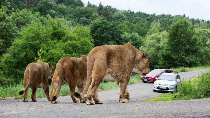 Video ZOO Dvůr Králové otevřela lví safari
