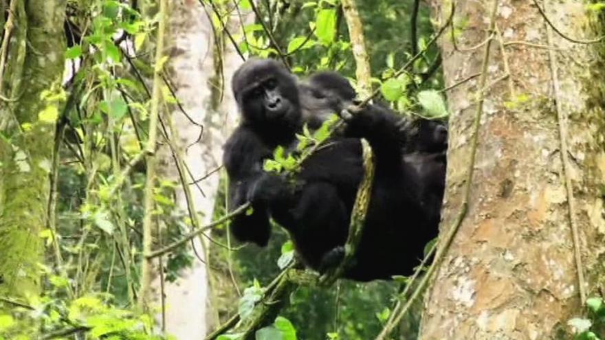 Video Horizont ČT24: Vyhubení hrozí čtyřem ze šesti druhů lidoopů