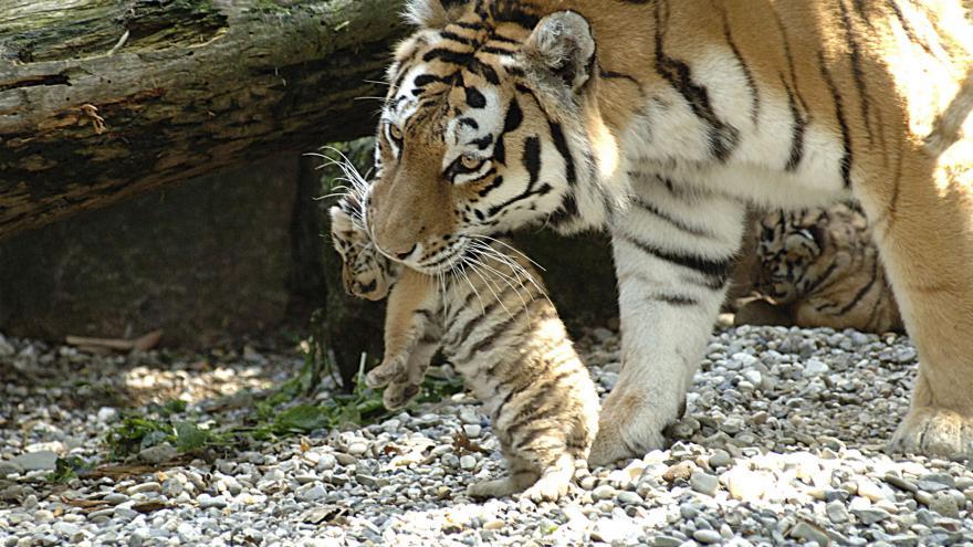Video Z ostravské zoo se stěhuje tygřice