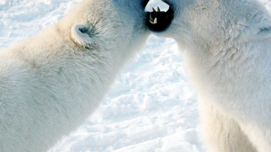 Video Medvědi vymírají