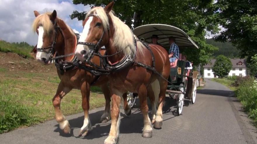 Video Na Šumavu se vrací koně
