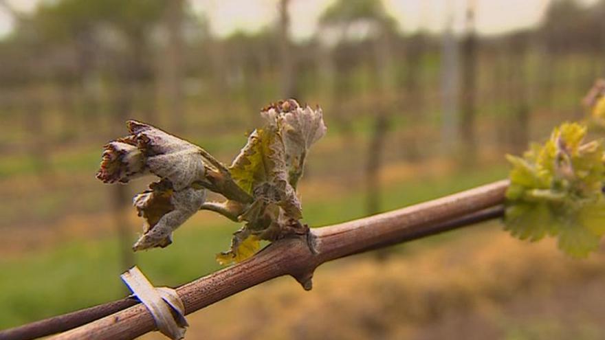 Video Mikulčický vinař: Další mrazy by dokonaly zkázu