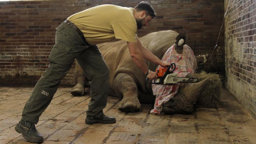Video Dvorská zoo začala řezat nosorožcům rohy