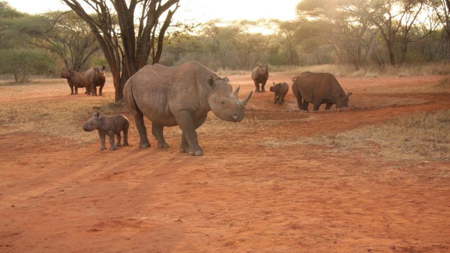 Video Nosorožců ubývá