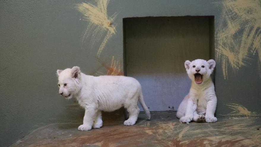 Video Návštěvníci hodonínské zoo už mohou pozorovat vzácná bílá lvíčata