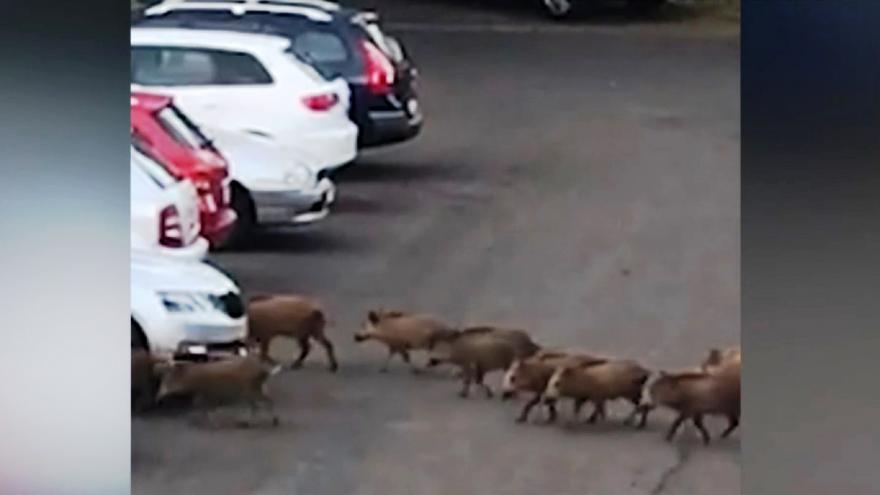 Video Divoká prasata na sídlišti v Ústí nad Labem