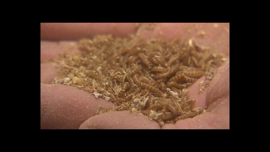 Video Pokrmy z hmyzu jako jídlo budoucnosti?