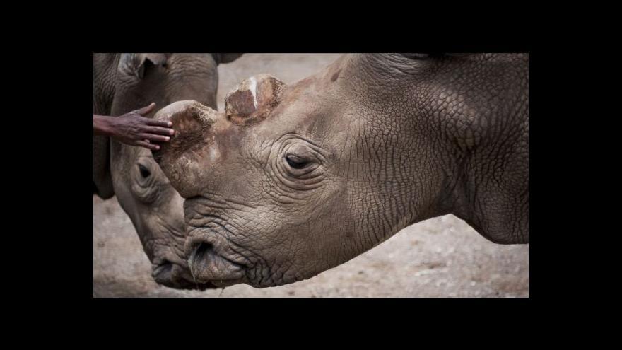 Video Bílí nosorožci z české zoo se v přírodě už nerozmnoží