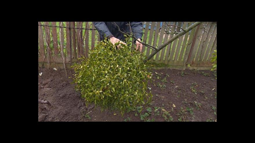 Video Jmelí se dá pěstovat i na zahradě