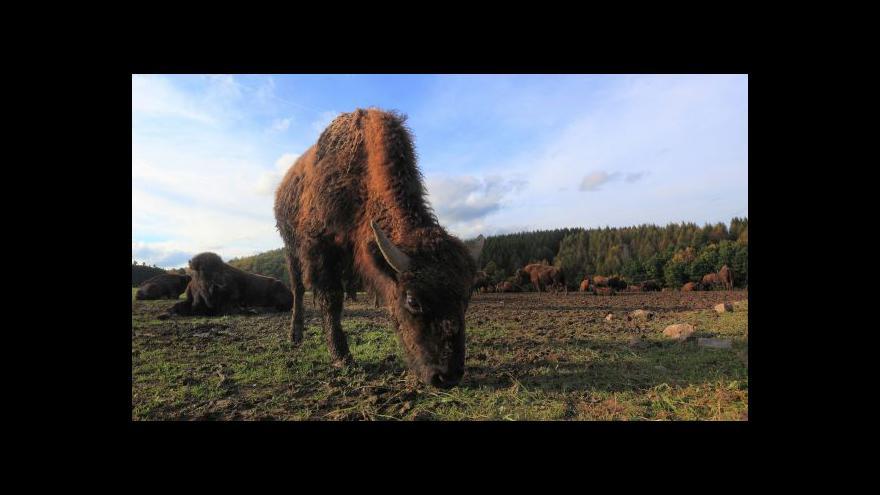 Video Podívejte se: Zubři dupou Ralskem