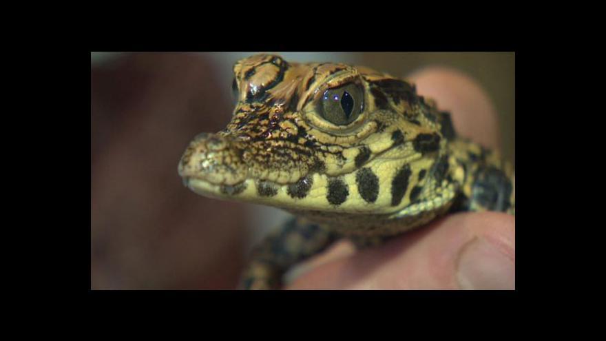 Video V Zoo Plzeň se narodilo 21 krokodýlů
