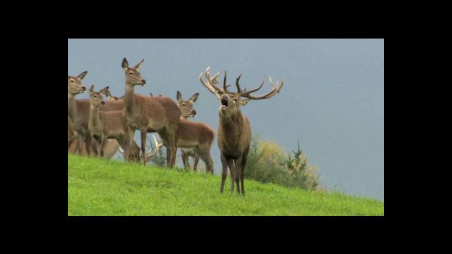 Video Přemnožení jeleni působí v lesích milionové škody