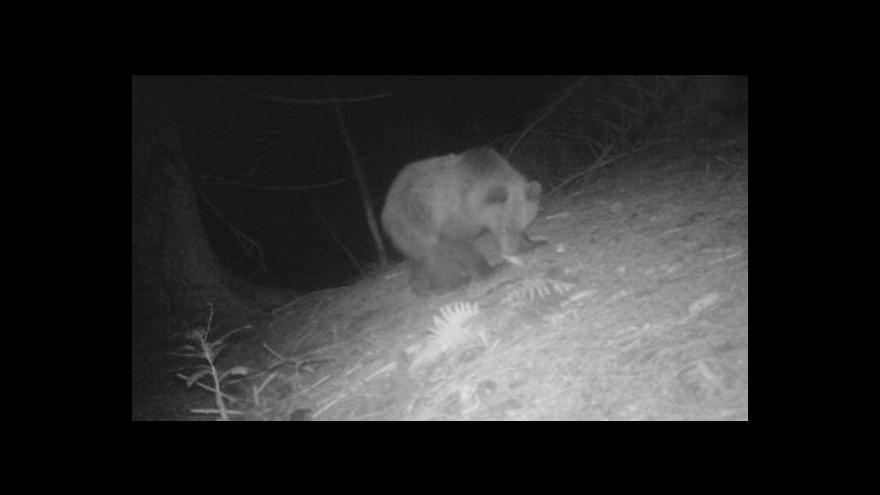 Video V Beskydech přibylo medvědů