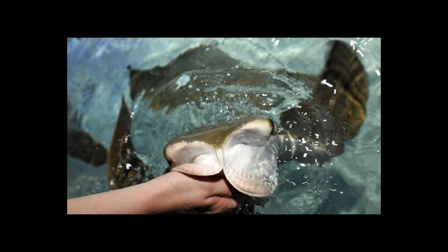 Video Zlínská zoo má unikátní expozici rejnoků