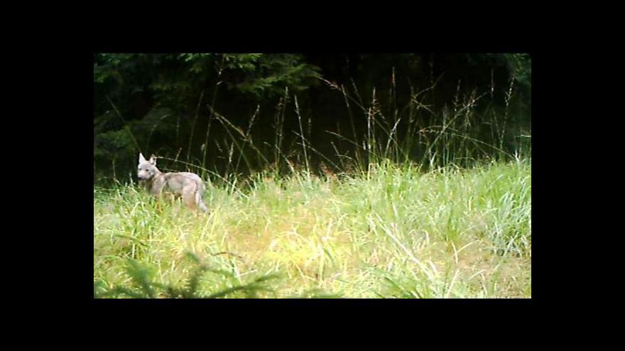 Video Fotopast zachytila vlčí mláďata