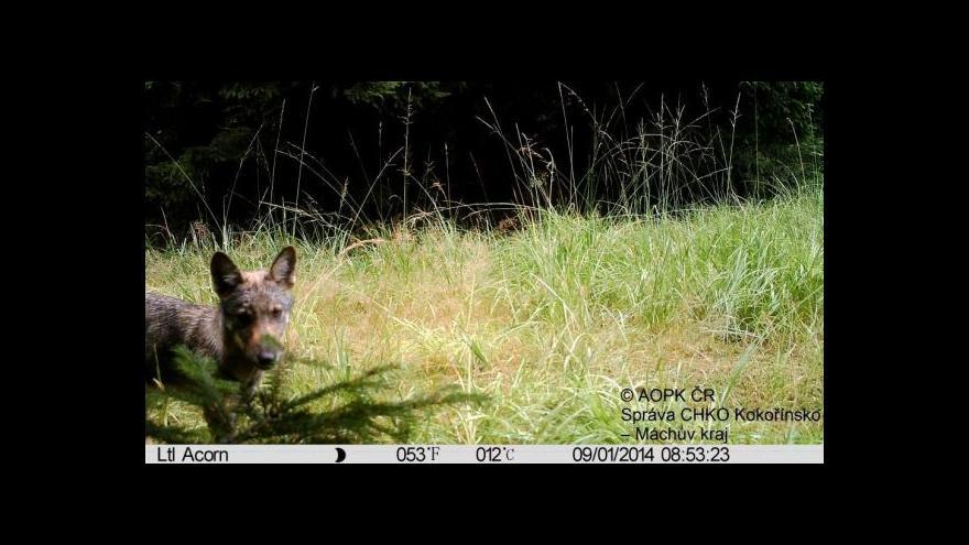 Video V Čechách se po více než sto letech rozmnožili vlci