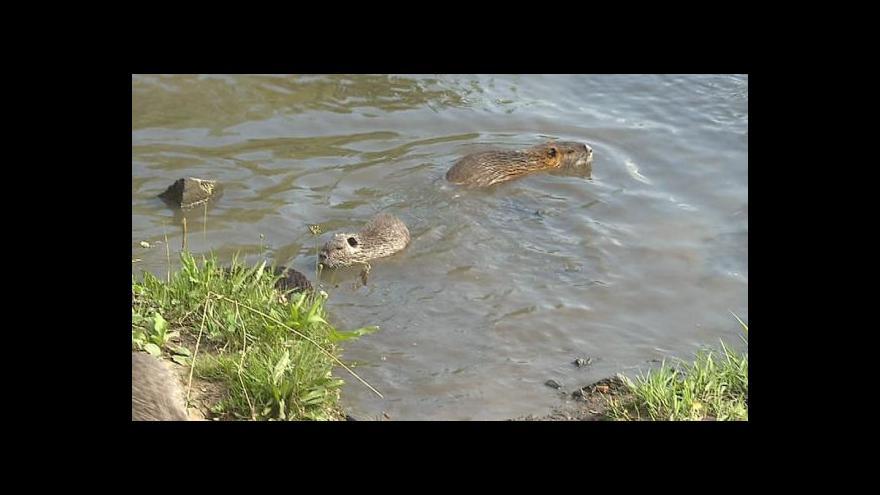 Video Přemnožená zvířata trápí vodohospodáře i zemědělce