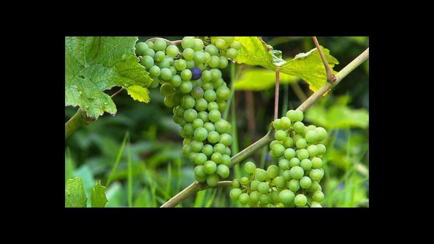 Video Začal sběr vína