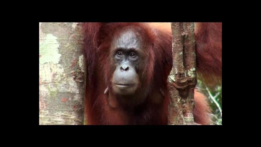 Video Fenomén Horizontu: Záchrana orangutanů