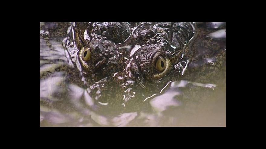 Video Krokodýlí maso skončilo v kafilerii