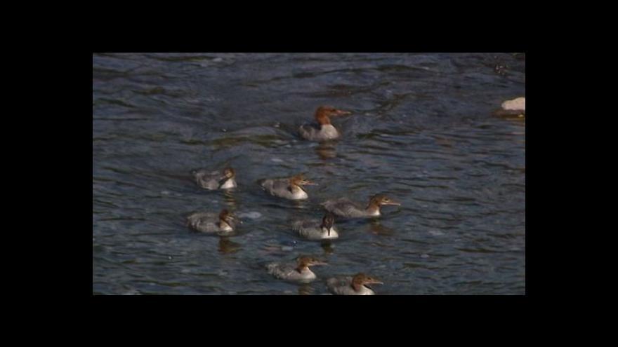 Video Vzácný pták hnízdí v areálu Třineckých železáren.