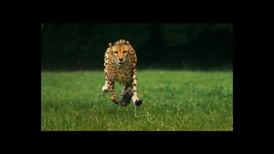 Video Írán bojuje o přežití gepardů