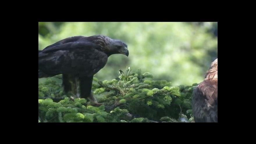 Video V Oderských vrších se narodilo druhé mládě orla skalního