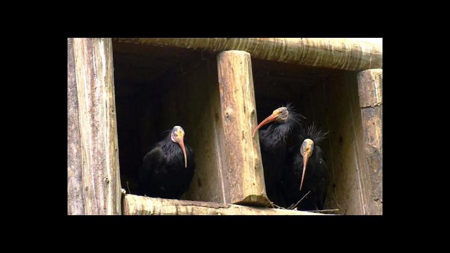 Video Čtyři chomutovští ibisi odjeli do Paříže