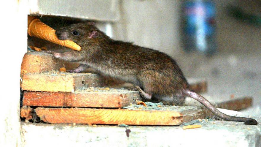 Video Hubení potkanů v Olomouci