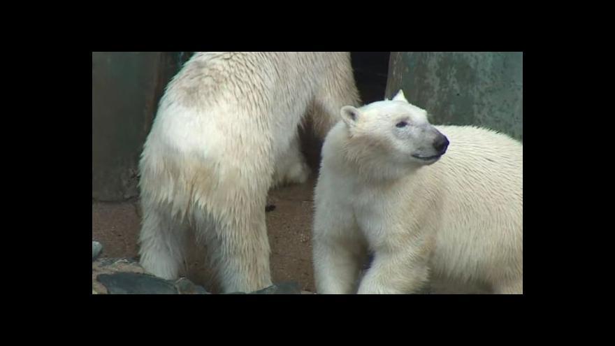 Video No comment: V brněnské zoo zůstali jen Cora s Nanukem