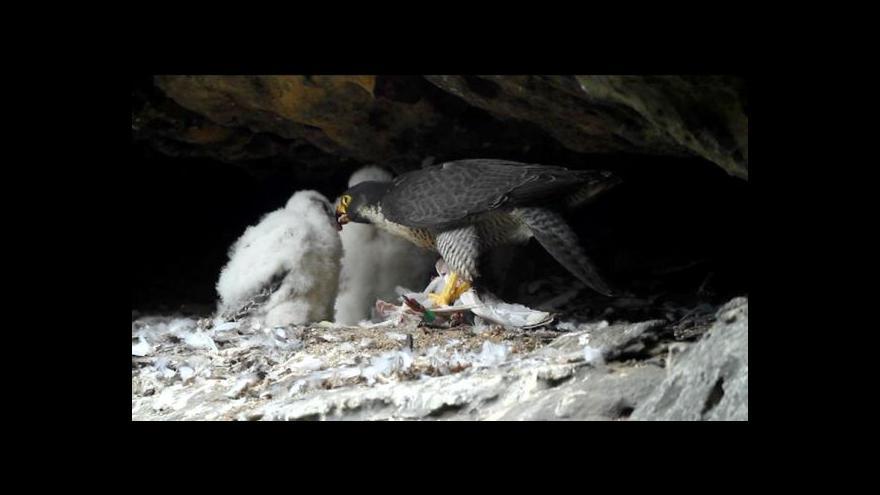 Video Hnízdění ptáků nesmí turisté v Českém Švýcarsku rušit