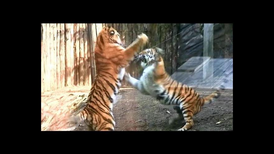 Video Olomoučtí tygři si padli do oka
