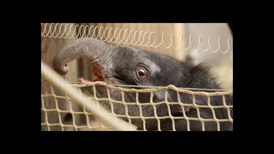 Video Naděje na přežití slůněte se snižuje