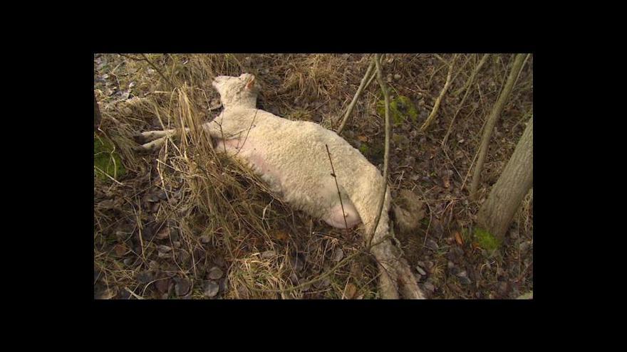 Video Lucie Pokorná o pohozených mrtvých ovcích