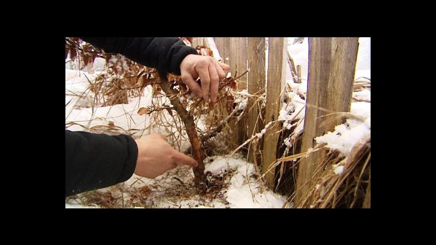 Video Lesníci kontrolují ohlodané stromky