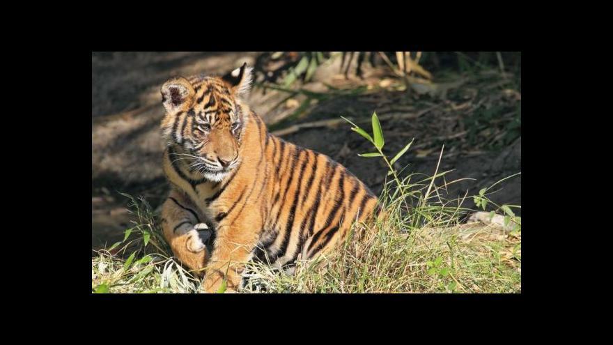 Video Horizont 24: Indická tygřice zabila už sedm lidí