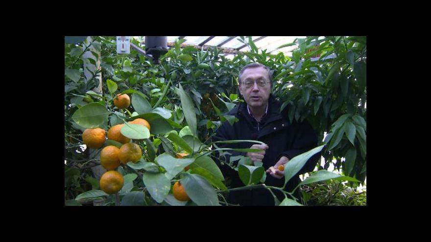 Video Uprostřed zimy v Česku dozrávají mandarinky