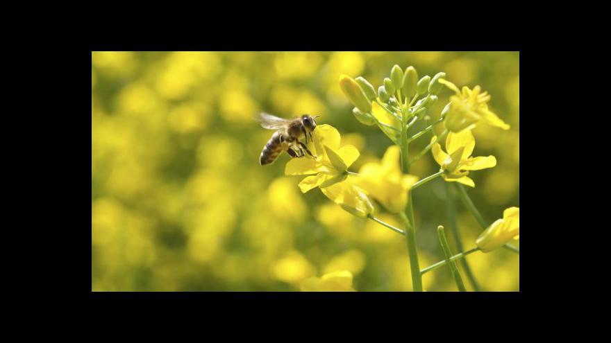 Video Ekonomika ČT24: V Evropě není dost včel