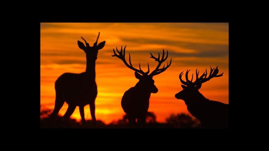 Video Z krkonošské obory zmizeli jeleni, vyplašily je ohňostroje