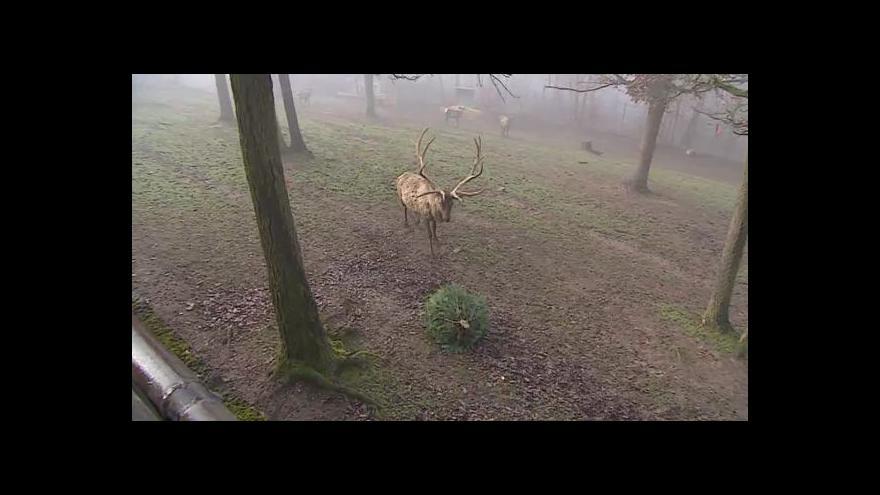 Video NO COMMENT: Vánoční stromky jako potrava pro zvířata