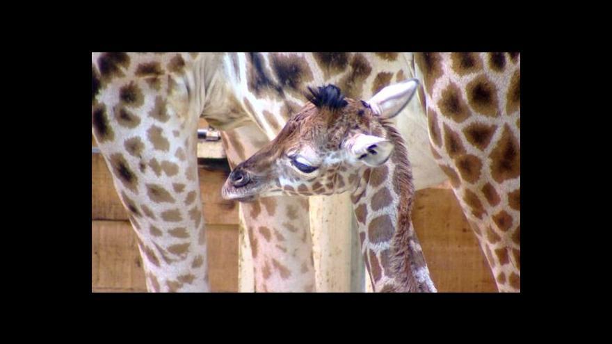 Video V liberecké zoo se narodilo jubilejní mládě žirafy