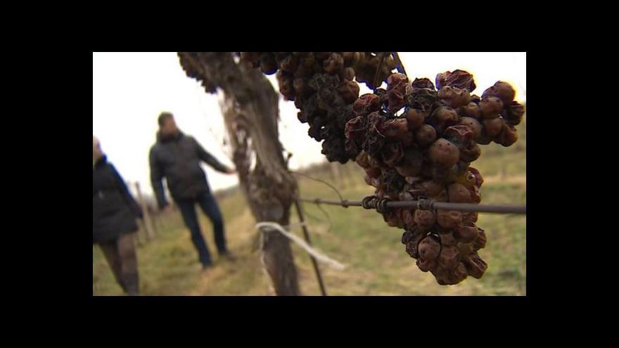 Video Ledovému vínu počasí nepřeje