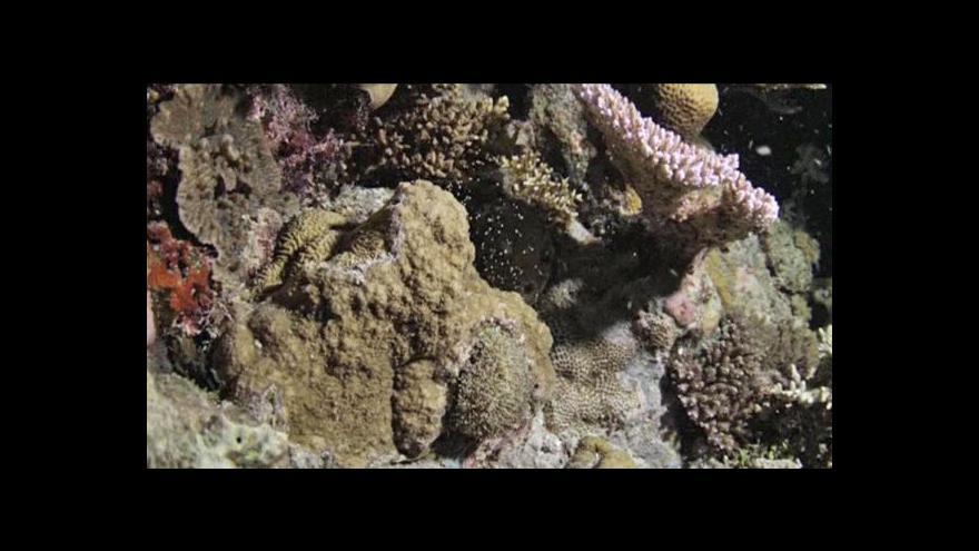 Video Velký korálový útes vypouštěl miliony vajíček a spermií