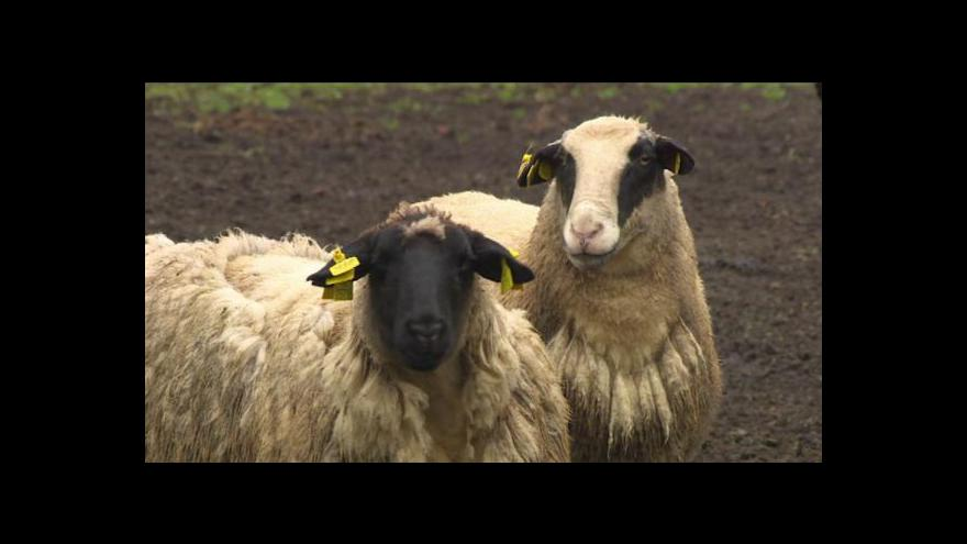 Video Vlastimil Weiner o týrání ovcí