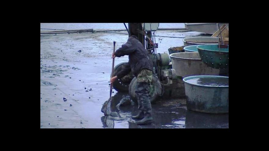 Video Výlovy rybníků vrcholí