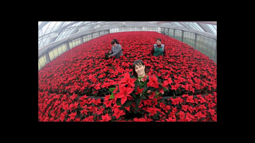 Video Čeští pěstitelé květin hlásí ztráty