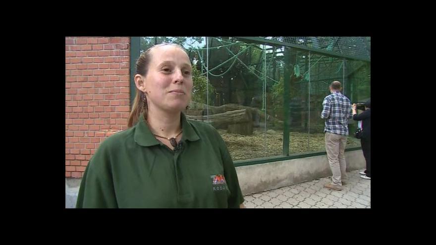 Video Chování šimpanze Sherleyho popisuje chovatelka Petra Bílková