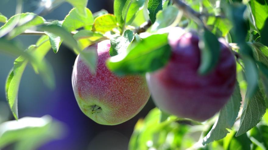 Video Předseda ovocnářské unie: Sady pře mrazy prakticky neochráníme