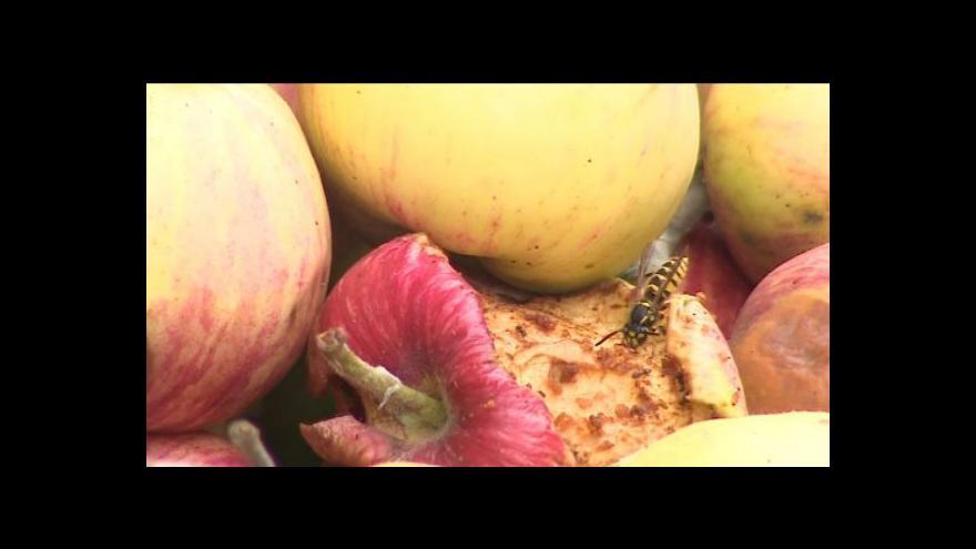 Video Přemnožené vosy
